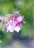 Macro of honey bee on pink flower. Watershed (Aquilegia Stock Image