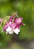 Macro of honey bee on pink flower. Watershed (Aquilegia Royalty Free Stock Image
