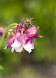 Macro of honey bee on pink flower. Watershed (Aquilegia Royalty Free Stock Photography