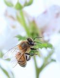 Macro Honey Bee Stock Photos