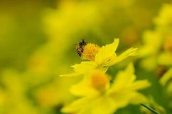 Macro Honey Bee Stock Image