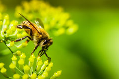 Macro Honeybee on fennel flower. This image was taken in landscape mode with a macro lens so that it would be perfect for advertising, posters, and memes Royalty Free Stock Photo