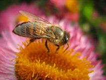 Fat honeybee on Flower Stock Images