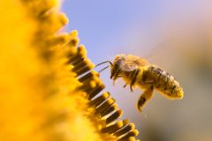 Macro of a honeybee in a sunflower. The bee is full of pollen from the flower Royalty Free Stock Image