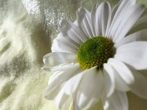 Macro hoogste mening Één bloem van witte chrysant is op gele doek, close-up stock afbeeldingen