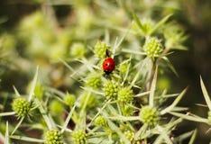 Macro hoogste mening van een rood lieveheersbeestje op elytron, in een groene bloeiwijze Lieveheersbeestje op groene bladachtergr royalty-vrije stock afbeelding