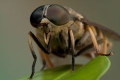Macro horse-fly Stock Photography