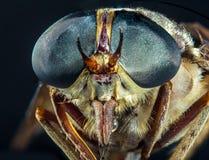 Macro Horse Fly. Entomology macro detailed closeup large blue horsefly eyes stock photo