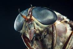 Macro Horse Fly. Entomology macro detailed closeup large blue horsefly eyes stock image