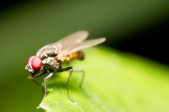 Macro of House fly. Close-up of a common house fly (Musca domestica Stock Photography
