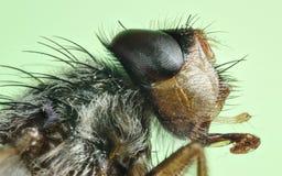 Macro house fly (Fannia canicularis) Royalty Free Stock Photography