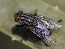 Macro of housefly on leaf Stock Image