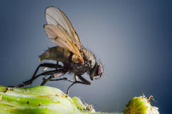 Macro Housefly. Macro shot of a housefly standing next to an aphid on a plant Royalty Free Stock Photo
