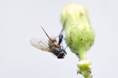 Macro Housefly. Macro view of a housefly holding onto a dandelion bud Royalty Free Stock Photos