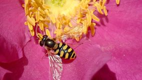 Macro of Hover fly on a Dog rose. Macro of a Syrphoidae or Hover fly getting pollen on a dark pink Dog rose stock image
