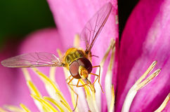 Macro of a hover-fly Royalty Free Stock Photo