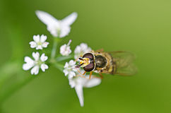 Macro of a hover-fly Stock Photos