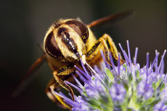 Macro of hoverfly stock images
