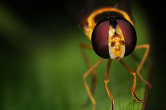 Macro of a Hoverfly Royalty Free Stock Images