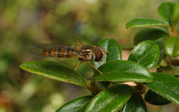 A macro of a Hoverfly on a green leaf with its back legs in the air Royalty Free Stock Image