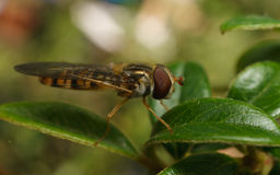 A macro of a Hoverfly on a green leaf with its back legs in the air Royalty Free Stock Images