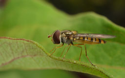 A macro of a Hoverfly on a green leaf Royalty Free Stock Photos