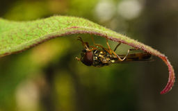 A macro of a Hoverfly on a green leaf Royalty Free Stock Photo