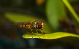 A macro of a Hoverfly on a green leaf Stock Image