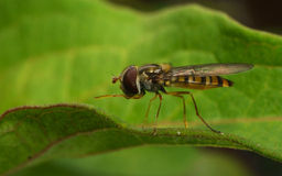 A macro of a Hoverfly on a green leaf Royalty Free Stock Images