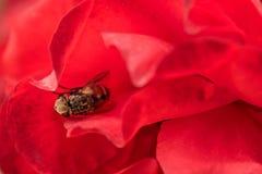 Macro hoverfly nas pétalas de uma rosa vermelha flie da flor, syrphid foto de stock royalty free