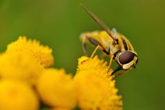 Macro of a hoverfly on a yellow flower Royalty Free Stock Photo