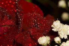Macro humide de rose de rouge Image libre de droits