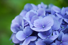 Macro Hydrangea hortensia Stock Foto