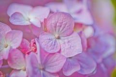 Macro Hydrangea Royalty Free Stock Photos