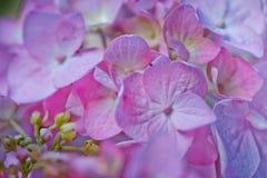 Macro Hydrangea Royalty Free Stock Image