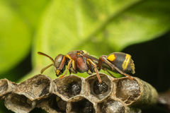 Macro of Hymenoptera on the nest in nature Stock Image