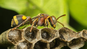 Macro of Hymenoptera on the nest in nature Royalty Free Stock Photography