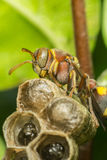 Macro of Hymenoptera on the nest in nature Stock Photo