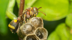 Macro of Hymenoptera on the nest in nature Stock Images