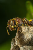 Macro of Hymenoptera on the nest in nature Royalty Free Stock Image