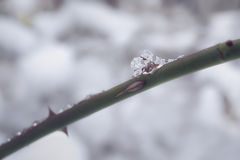 Macro of ice crystal on a thorny rose bush. Shallow depth of field Stock Photography