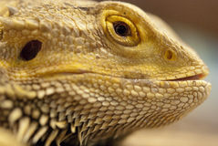 Macro of iguana head Royalty Free Stock Photography
