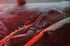 Macro of iguana lizard Royalty Free Stock Image