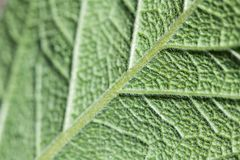 Back side of fuzzy leaf royalty free stock photo