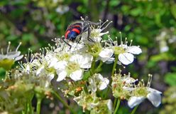 Beautiful black beetle with bright red stripes on white flower Stock Image
