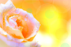 Macro image of beautiful fresh yellow rose with water drops on o. Range background. Copy space texture background stock photography