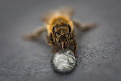Macro image of a bee on a gray surface drinking a honey drop fro Royalty Free Stock Image