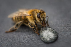 Macro image of a bee on a gray surface drinking a honey drop fro Stock Image