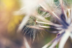 Macro image of big beautiful dandelion. Small depth of field. Creative vintage filter Stock Photography