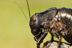 Macro image of big bellied cricket Royalty Free Stock Photography
